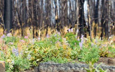 How Does a Forest Fire Relate to a Pandemic?