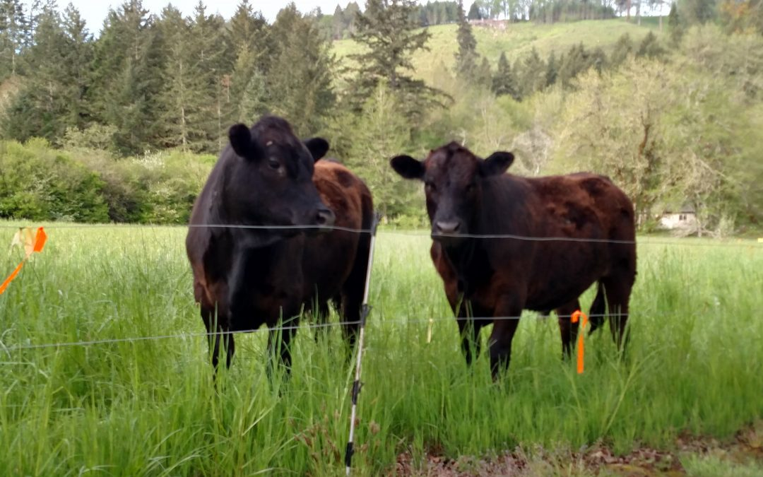 black angus cows standing in grass next to electric fencing