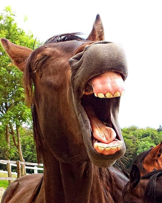 Brown horse appearing to be laughing